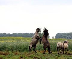 Oostvaardersplassen (natas0320) Tags: natureonmydoorstep nature takingpictures konikhorse konikhorses wildhorses horsesinthewild horses lelystad oostvaardersplassen