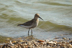 Dunlin (Calidris alpina) (bramblejungle) Tags: dunlin calidris alpina