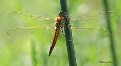 Wandering Glider_N7434 (Henryr10) Tags: ottoarmlederpark hamiltoncountyparkdistrict cincinnati ottoarmledermemorialpark armlederpark littlemiamiriver greatparksofhamiltoncounty wanderingglider pantalaflavescens glider pantala libélula dragonfly dragonflies libellula libellule libelle drekafluga odonata