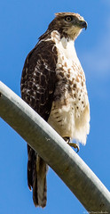 Cooper's Hawk on a street light post in along the Mohawk Trail, Greenfield, Mass (dhollender) Tags: coopershawk streetlight