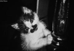 Dear Cookie        (please read description) (GaboUruguay) Tags: cat gato kitten gatito portrait cute sweet small babycat retrato blackwhite blancoynegro animal pet mascota monochrome autofocus remember moment recuerdo nostalgia nostalgic evocative kodak tuxedocat maskedcat cx7310