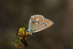 papillon (bulbocode909) Tags: papillons insectes fleurs nature jaune orange vert