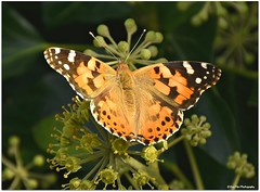 herbstliches Sonnenbad (mayflower31) Tags: efeu schmetterling butterfly distelfalter herbst autumn