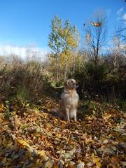 Sunny 44/52 (Lianne (calobs)) Tags: 52 weeks for dogs goldenretriever