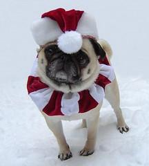 Christmas Santa Pug (DaPuglet) Tags: pug santa christmas pugs dog dogs pet pets santaclaus costume holiday animals cute snow winter animal red white