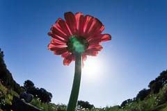 A flower (nak.viognier) Tags: flower ryokuchipark osaka 緑地公園 olympusepl3 lumixgfisheye8mmf35