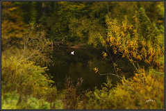 Autumn Comes To The Riverbank. (Picture post.) Tags: landscape nature green water river swan autumn willow trees reflection paysage arbre eau interestingness vignette