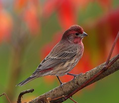 Autumn Finch (Kanukster) Tags: finch housefinch nikonflickraward birdshare norfolk norfolkcounty nikond7200 tamronsp150600 feathersbeaks birdsbirdsbirds awesomebirds