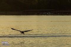 Flying Away (The Suss-Man (Mike)) Tags: clouds gainesville georgia hallcounty lake lakelanier lanier nature sky sonyslta77 sunset sussmanimaging thesussman water unitedstates animal bird heron greatblueheron