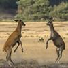 Lepelende jonge edelherten (nsiepelbakker) Tags: lepelen deer edelherten outdoor wildlife pentaxart