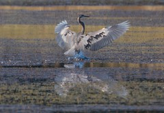 7K8A4679 (rpealit) Tags: scenery wildlife nature hyper humus newton great blue heron landing bird