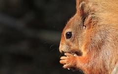 Red Squirrel - Brownsea Island Dorset - 040516 (61) (ailognom2005-Catching up slowly.) Tags: redsquirrels brownseaisland dorsetwildlife dorset mammals uk