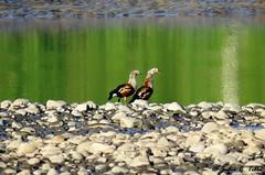 Ganso del Orinoco  (Oressochen jubatus)  Orinoco Goose (Julio C. Tello) Tags: ganso orinoco oressochen jubatus goose julioctello amazona bosque selva rainforest peru ro tambopata trc anatidae anseriformes