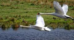 Mute Swan (John Assheton) Tags: swan muteswan nwt norfolkwildlifetrust cleymarshes