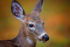 Young Whitetail Fawn (*~ Nature's Gifts Captured  ~*) Tags: whitetail deer fawn autumn october nature wildlife tamihrycak naturesgiftscaptured nikond4s nikkor outdoors fall whitetaildeer pennsylvania creative photoshop animal youngster specanimal