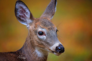 Young Whitetail Fawn