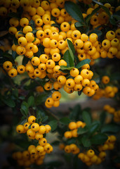 Cotoneaster Berries (judy dean) Tags: judydean 2016 sonya6000 cotoneaster berries yellow autumn bounty