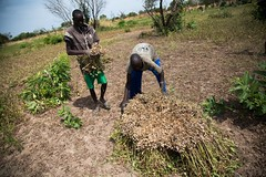Setting up groundnuts for drying (FAOemergencies) Tags: fao food agriculture crops cultivation cultivators farmers farming fish foodsecurity sorghum aweil northernbahralgazal southsudan emergencies africa resilience groundnuts