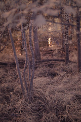 October 2016 in infrared 2 (furrycelt) Tags: harrislake newhillnc northcarolina shearonharrisreservoir sigma50mmf14 sigma50mmf14exdghsm sonya3000 ianwilson jianwilson photographersoftumblr 50mm 665nm october sigma sony a3000 forest furrycelt infrared ir lake leaves lensblr natural nature outdoors trees water waves woods
