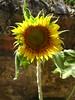 Girassol (Polymele) Tags: brasil canon sunflower himawari girasole tournesol girasol 向日葵 sonnenblume zonnebloem girassol helianthus słonecznik solros 해바라기 solsikke ヒマワリ kembang napraforgó helianthusannuus blodynyrhaul slunečnice sonneblom suncokret חמניות floareasoarelui auringonkukka ayçiçeği luledielli آفتابگردان ekilore saulespuķe slnečnica слънчоглед päevalill saulėgrąža ηλιοτρόπιο podsolnechnik सूर्यफूल सूरजमुखी hoahướngdương соняшник ดอกทานตะวัน عبادالشمس xirasol sunfloro bungamatahari подсолнечник сунцокрет xiàngrìkuí sončnica സൂര്യകാന്തി сончоглед canonpowershota3100 alizeti sólblómaolía ਸੂਰਜਮੁਖੀ سورجمکھی sūrajamukhī сланечнік lusnagréine tanamasoandro সূর্যমুখী sūryamukhī haebalagi наранцэцгийн მზესუმზირის putirā արեւածաղիկ günəbaxan күнбағыс офтобпараст ġirasol