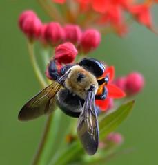 024e exploring bee (jjjj56cp) Tags: flowers summer macro closeup wings cincinnati details ngc blossoms bee oh buds blooms milkweed glenwoodgardens