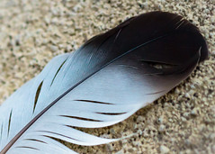 Feather, Pena (ruifo) Tags: sigma105mmf28exdgoshsmmacro11 nikond810 mexico méxico mexiko מקסיקו المكسيك 墨西哥 messico メキシコ 멕시코 мексика mexique