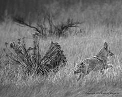 Coyote 7571 (frank.kocsis1) Tags: coyote colorado cloudy overcast greyscale coloradowildlife cherrycreeksp frankkocsis seealbumformorephotos