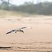 grey headed gull flying low arty