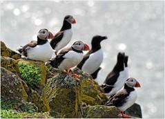 Isle of May Wildlife (eric robb niven) Tags: nature scotland dundee wildlife puffins anstruther seabirds isleofmay wildbird ericrobbniven pentaxk50