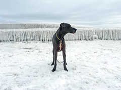Ice Age (k.james) Tags: dog chicago cold ice iceage greatdane lakemichigan polarbear freeze dane polar icicles montroseharbor montrosebeach kenthenderson chicagowinter chicagoice kjameshenderson polarvortex stelladane