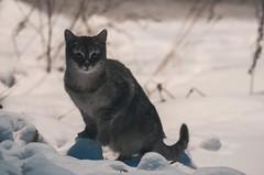 Снежный кот (miksocolov) Tags: winter snow cat view pentax outdoor sigma 70300mm k5ii