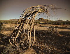 Dead Ocotillo - Big Bend National Park, Texas