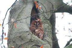 IMG_1220 (gipukan (rob gipman)) Tags: netherlands eos forrest 7d owl amersfoort photosniper uil lockhorst bosuil canon100400lis