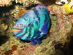 parrot fish (explore) (DOLCEVITALUX) Tags: fish underwater philippines diving batangas scubadive parrotfish
