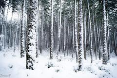 Neige/Snow (Dorian.B34) Tags: winter snow nature montagne nikon hiver neige arbre blanc froid mende d5200