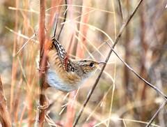 sedge wren at Attwater NWR, TX IMG_6090 (lreis_naturalist) Tags: texas reis larry wren nwr sedge attwater