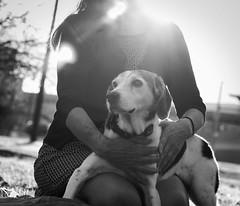 Regal Belle (Samutsim) Tags: rescue dog pet love beagle animal bond