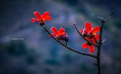 Spring (Sougata2013) Tags: india mountain flower nature nikon hill mandi himachalpradesh nikond3200 kamand iitmandi