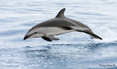 Delfin Oscuro  (Lagenorhynchus Obscurus).  Dusky Dolphin. (Sergio Bitran M) Tags: chile mammal dolphin mammalia duskydolphin cetaceo 2015 mamifero delfi delphinidae lagenorhynchusobscurus islachañaral delfinoscuro