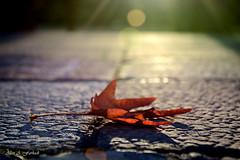 a lonely leaf (alan abdulkadir farhadi) Tags: leaf nikon dof bokeh ngc depthoffield erbil leav hawler d7100 nikond7100