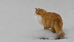 Enjoy the snow (Dream Rebellion) Tags: winter white snow cat nikon chat hiver neige blanc roux d7000