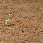 BBR-Yello-wattled-lapwing-in-habitat