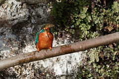 Kingfisher at Bishop's Palace (Steve Balcombe) Tags: fish tree bird fig wells somerset kingfisher moat bishopspalace alcedo stickleback atthis aculeatus gasterosteus threespined