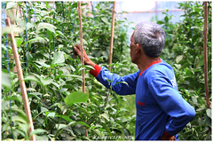 Daily life in the greenhouse (kamesvara) Tags: bali greenhouse paprika hydroponic buyan