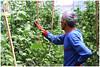 Daily life in the greenhouse (kamesvara) Tags: bali greenhouse paprika hydroponic buyan