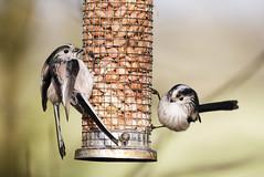 Longtailed Tits (marra121) Tags: blue sky food lake robin birds long tit great flight nuts ducks cumbria mallard whitehaven tailed treecreeper fatball longlands
