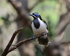 Blue-faced Honeyeater (PhotosbyDi) Tags: bird healesville bluefacedhoneyeater bigbertha australiannativebird nikond600 nikonf2870200mmlens