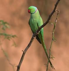 N India Tour 2012: Rose-ringed Parakeet (spiderhunters) Tags: india bird parrot acacia psittaculakrameri roseringedparakeet chambalriver