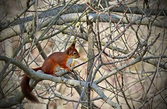 Playing in the trees (VB31Photo) Tags: red wild playing france tree nature squirrel branch wildlife des midi roux oiseaux pyrnes domaine vulgaris branche sauvage arige ecureuil midipyrnes mazres sciurius supervincent31 vb31photo