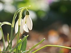 spring lights (sabrina. G) Tags: licht makro garten frhling schneeglckchen